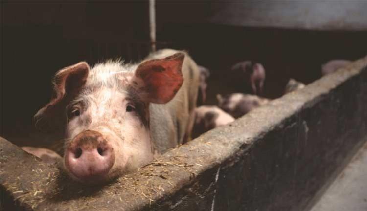 Apakah Cina kalah dalam pertarungan melawan virus babi yang tak tersembuhkan